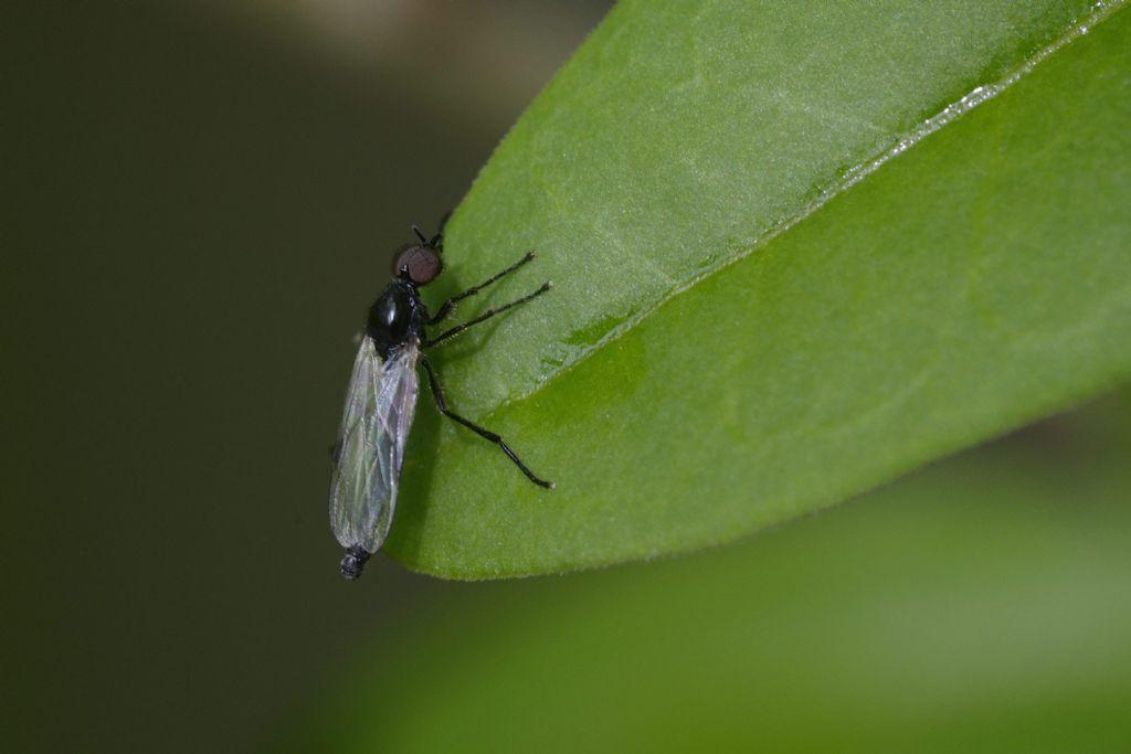 Bibionidae: cfr. Dilophus sp., maschio