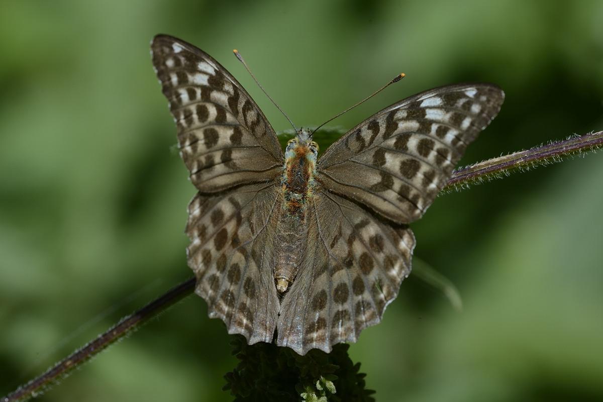Farfalla da ID