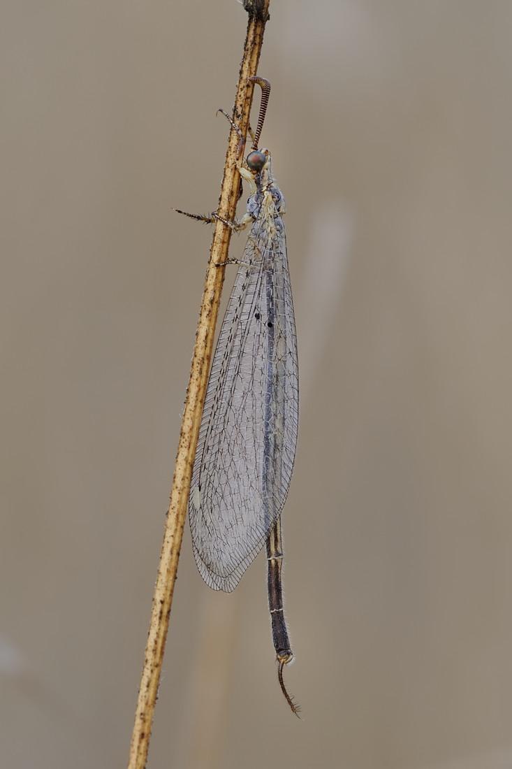 Macronemurus appendiculatus, maschio