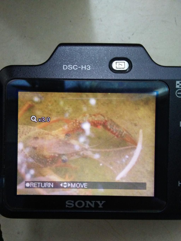Gambero americano?  Sì, Procambarus clarkii