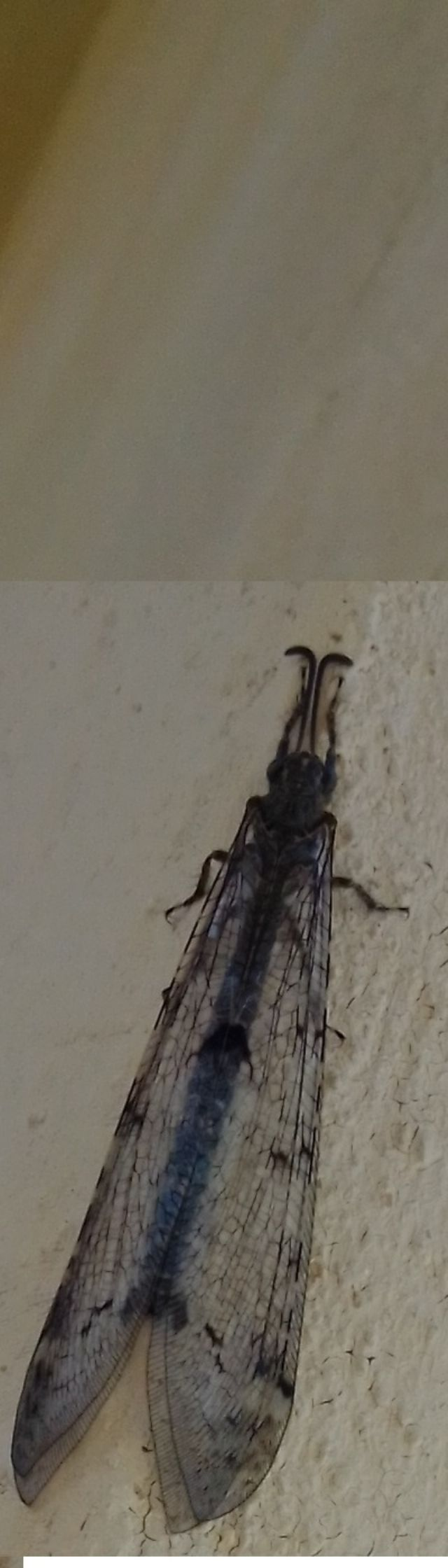 myrmeleontidae della Val Sesia: Distoleon tetragrammicus