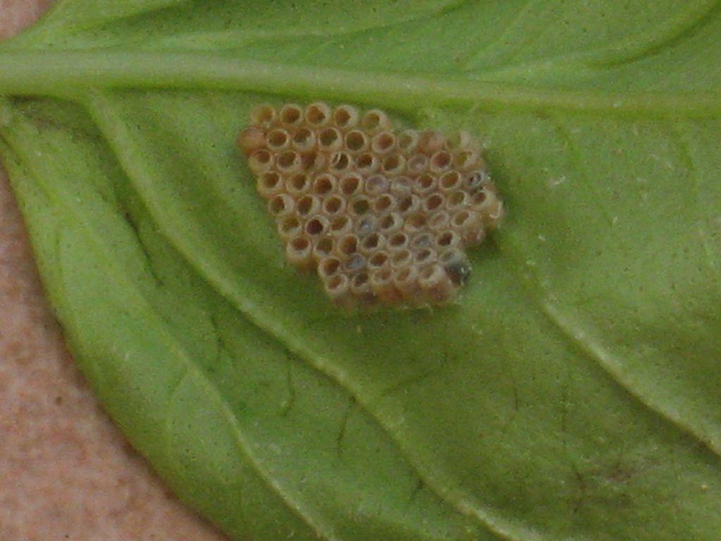 insetti del basilico