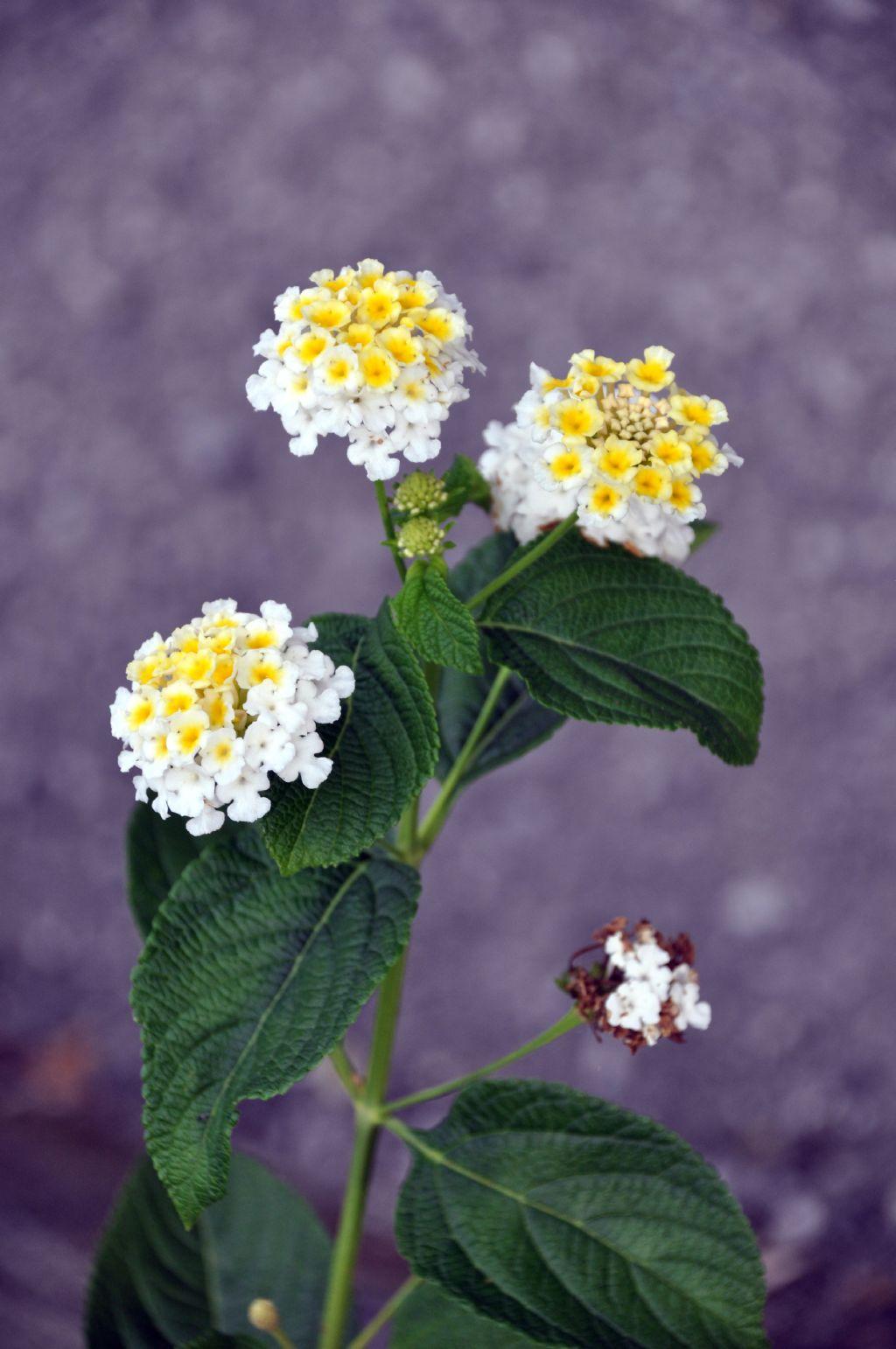 Lantana camara (cultivar) (Verbenaceae)