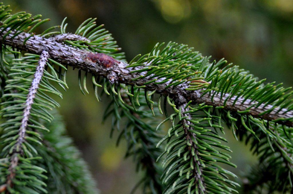cfr. Picea abies (Abete rosso)