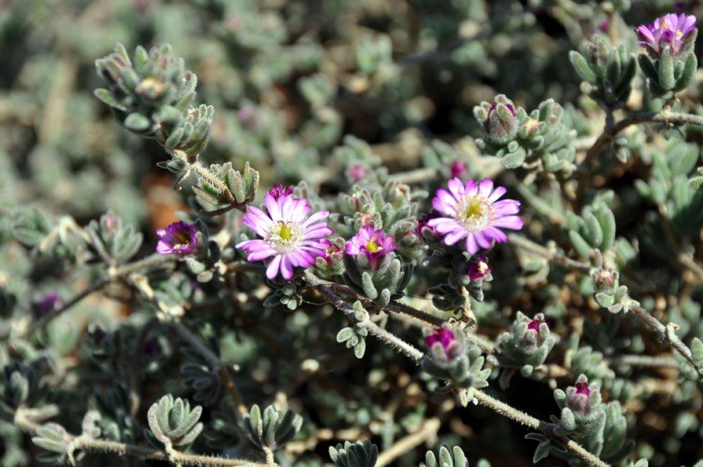 Drosanthemum sp.  (Aizoaceae)