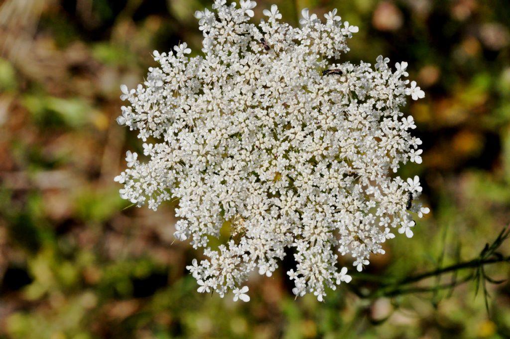 Apiaceae: cfr. Daucus carota