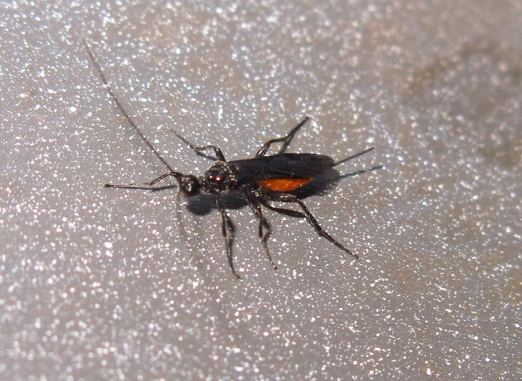 Braconidae - Atanycolus denigrator o Proterops concinnus?