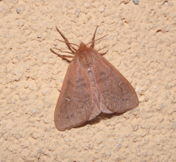Lymantriidae - Ocneria rubea