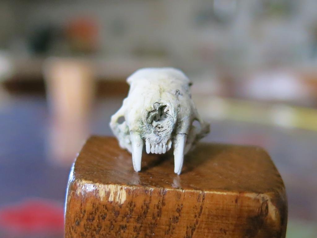 Piccolo cranio di?