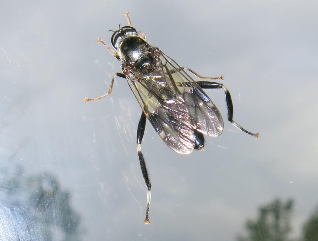 Stratiomyidae:  Exaireta spinigera