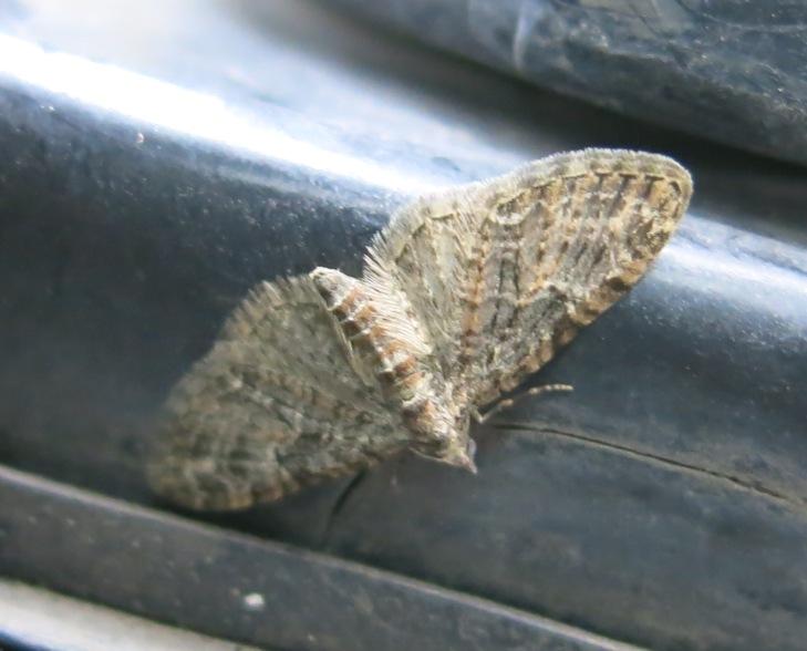 Geometridae -  Eupithecia abbreviata