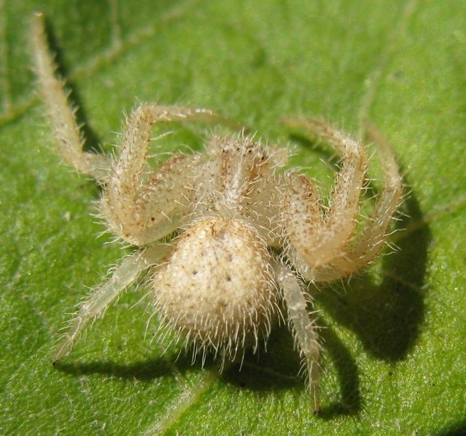 Heriaeus cf. hirtus - Acquapendente (VT)
