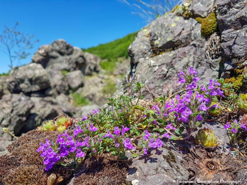 Clinopodium alpinum = Acinos alpinus (Lamiaceae)