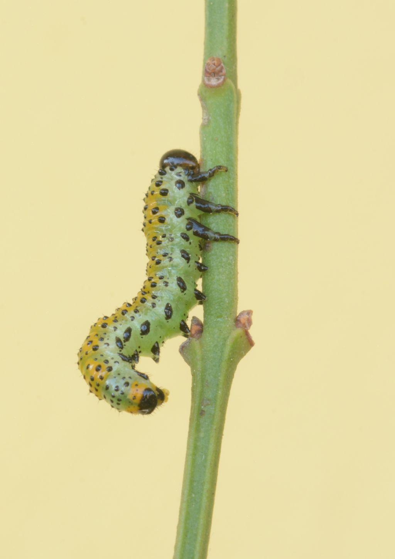 Larva di Arge pagana (Argidae)