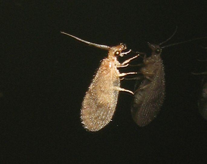 Hemerobiidae da Bologna: Sympherobius fallax