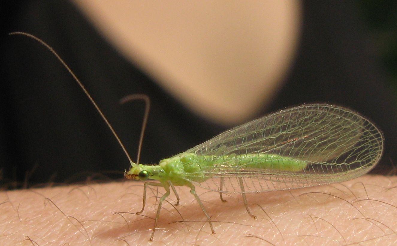 Chrysoperla pallida (Neuroptera - Chrysopidae)