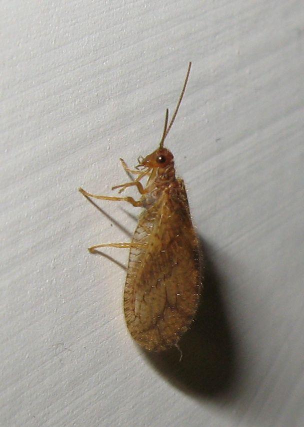 Micromus angulatus?  Sì !