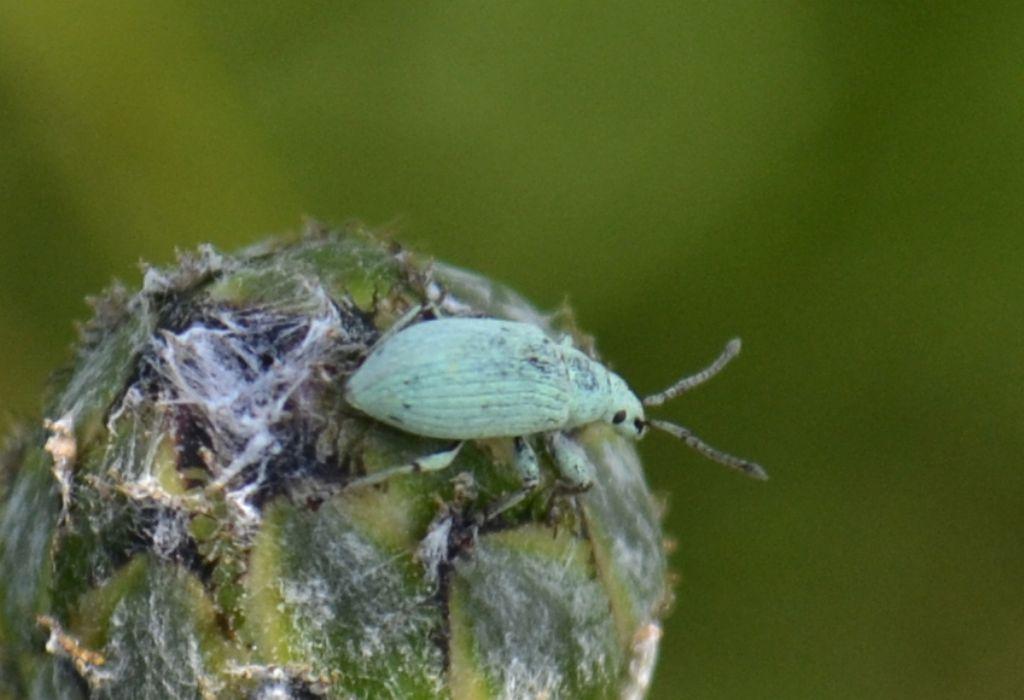 Curculionide: Phyllobius (Subphyllobius) virideaeris virideaeris