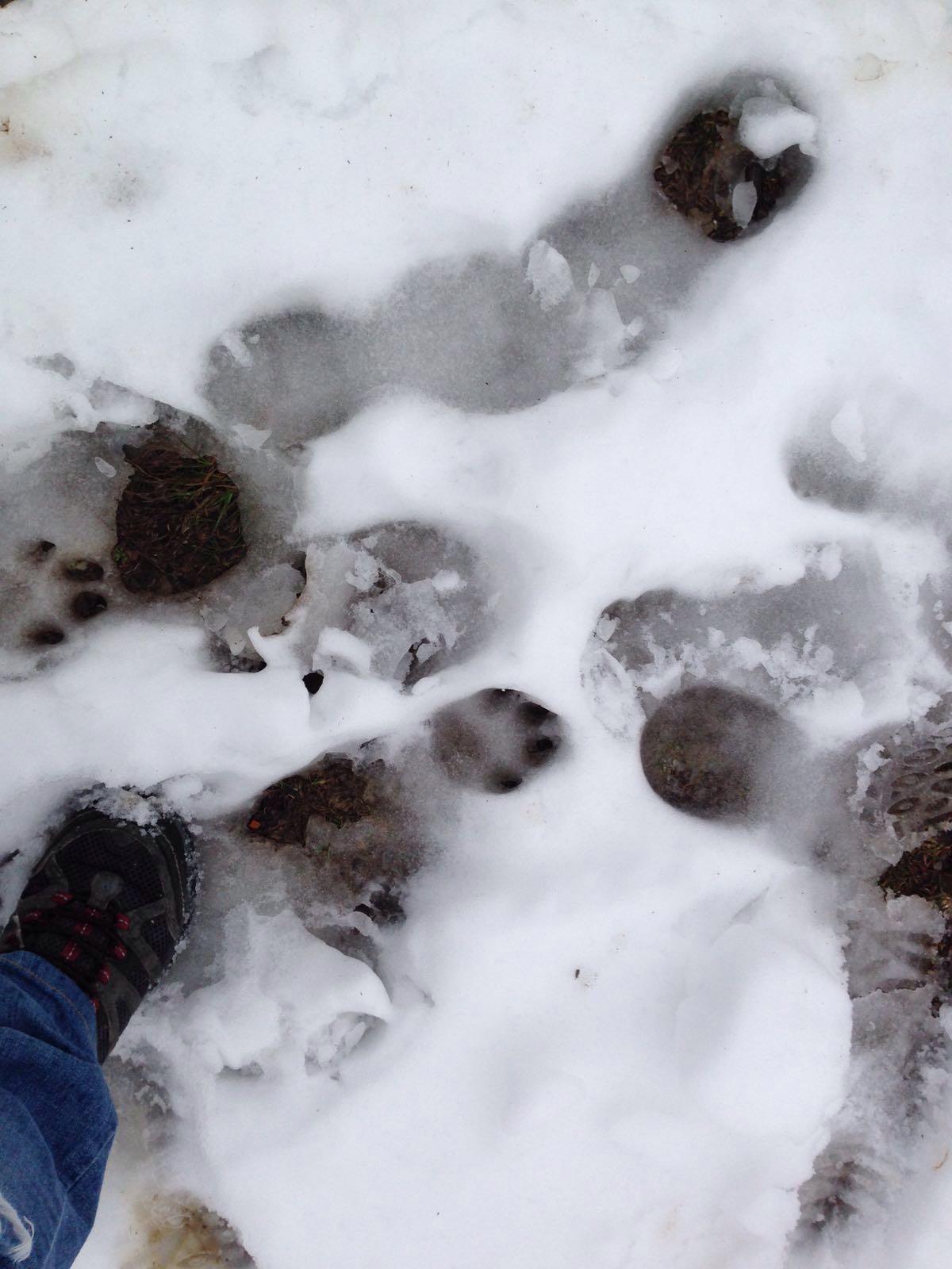 Impronte di lupo???