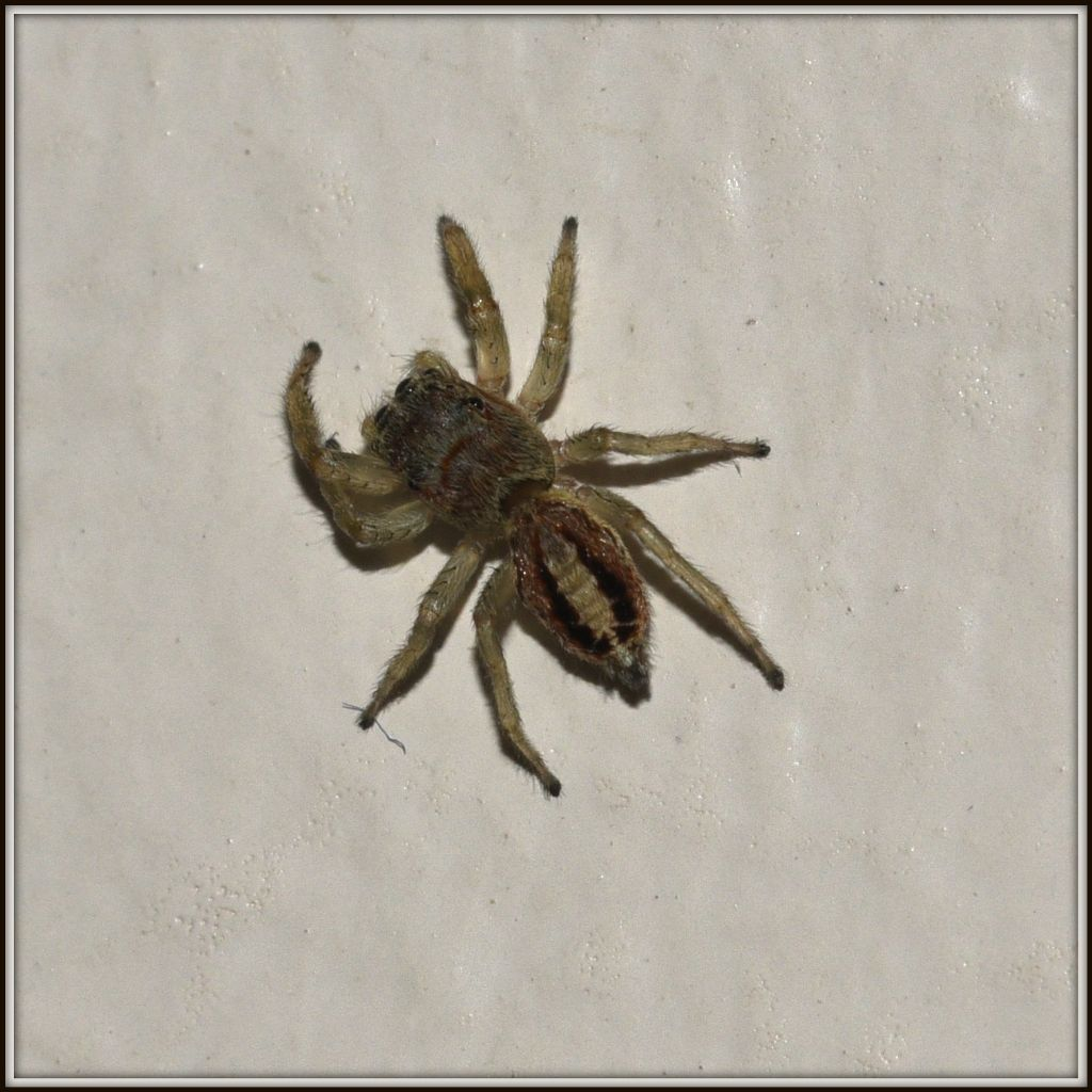Salticidae in casa: Icius sp. - Bellinzona (Svizzera  - TI)