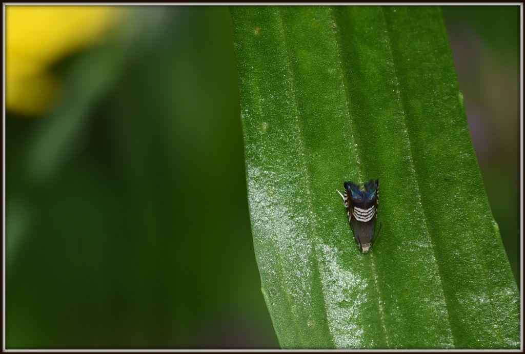 Microlepidottero: Grapholita compositella - Tortricidae