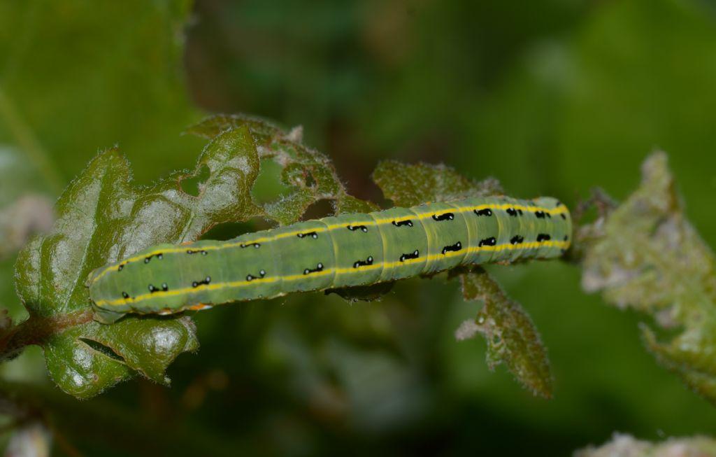 Bruco da identificare - Xylena exsoleta, Noctuidae