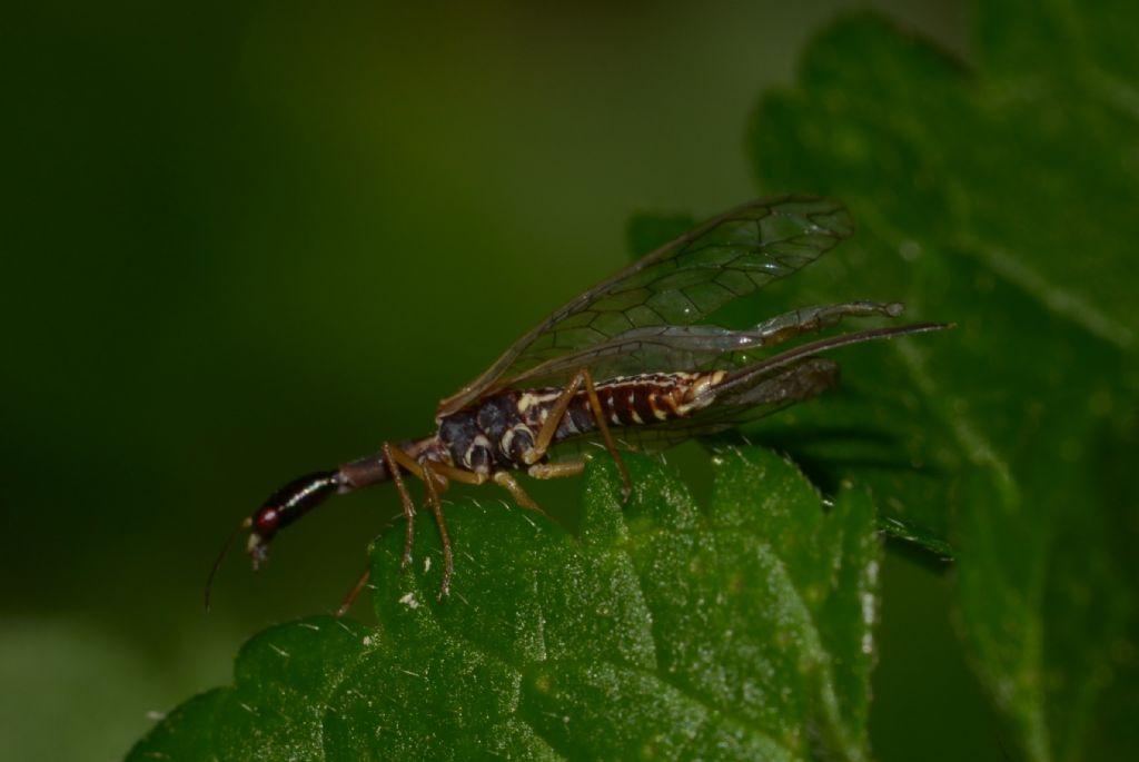 Raphidiidae da ID.