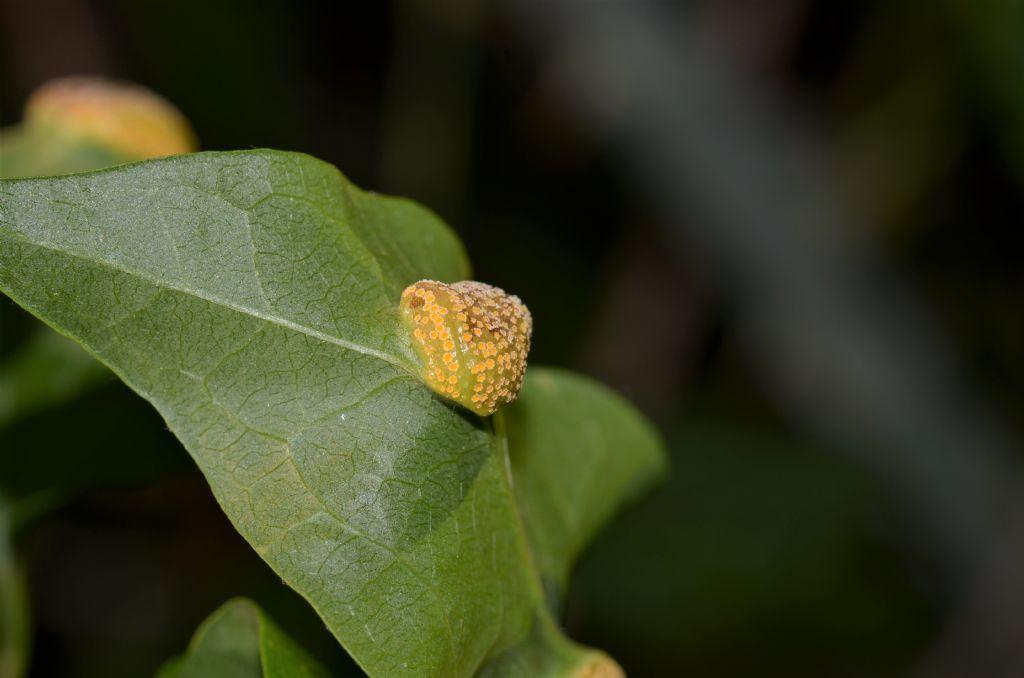 Galla da ID: galla di fungo Puccinia sp. (cfr.).