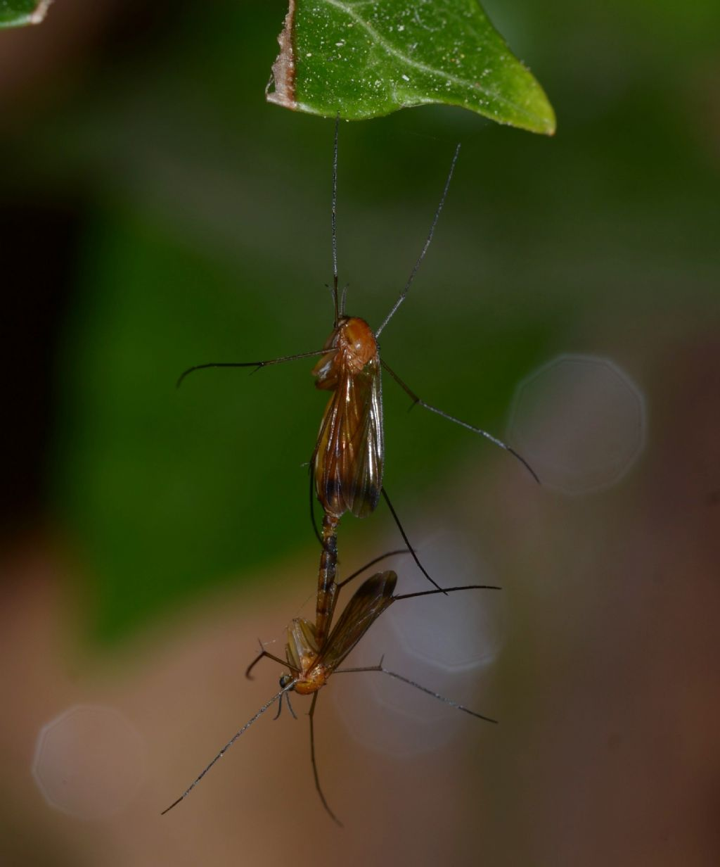 Mycetophilidae?  No, Keroplatidae: Orphelia cfr. fasciata