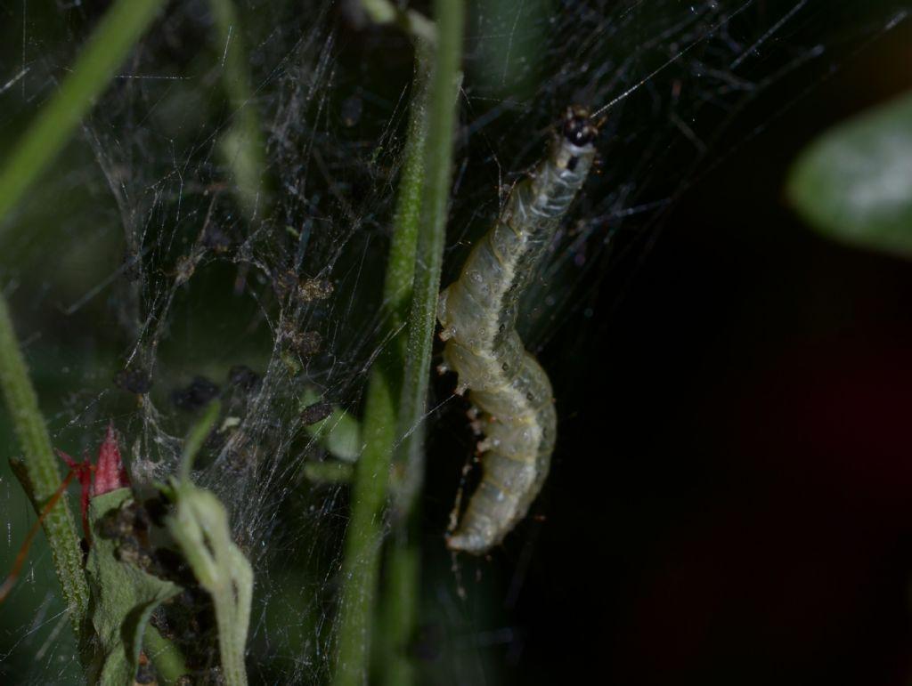 Scythrididae adulto e bruco ?