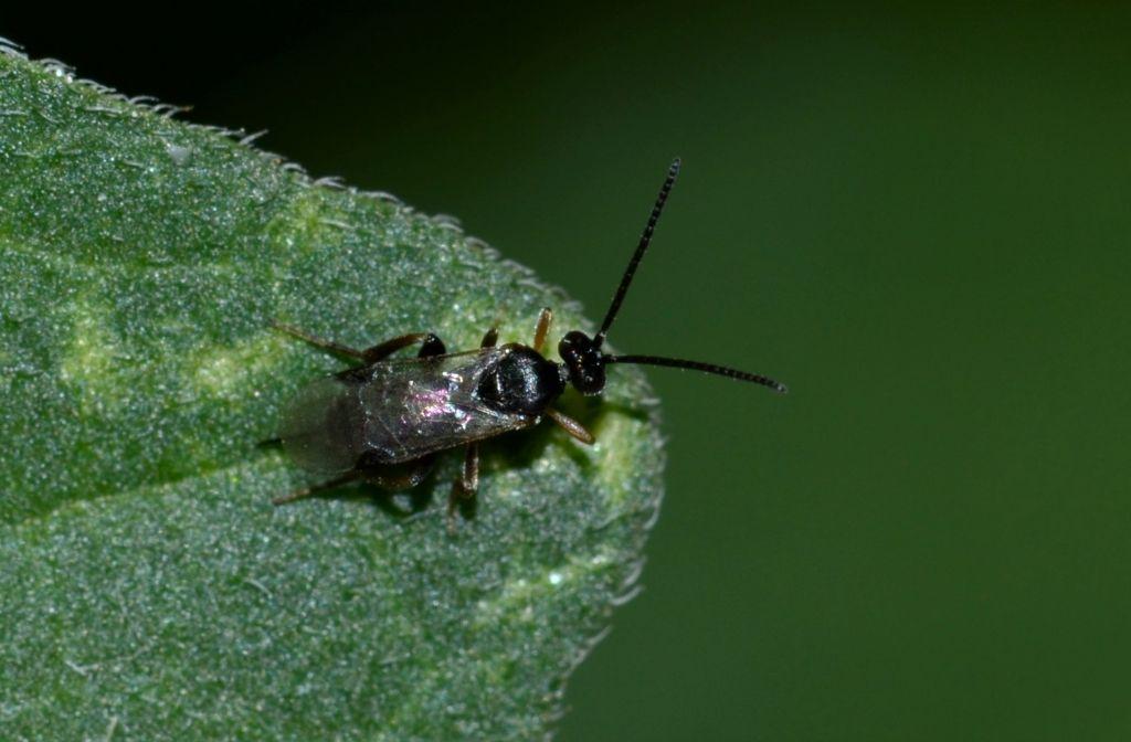 Megaspilidae ?