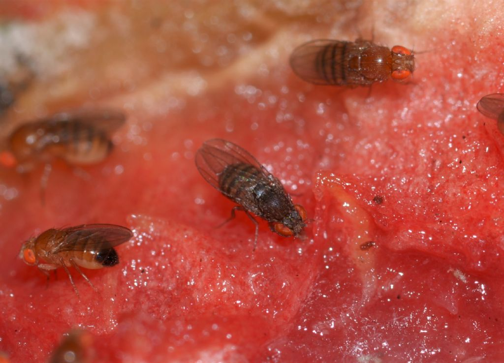Drosophila?