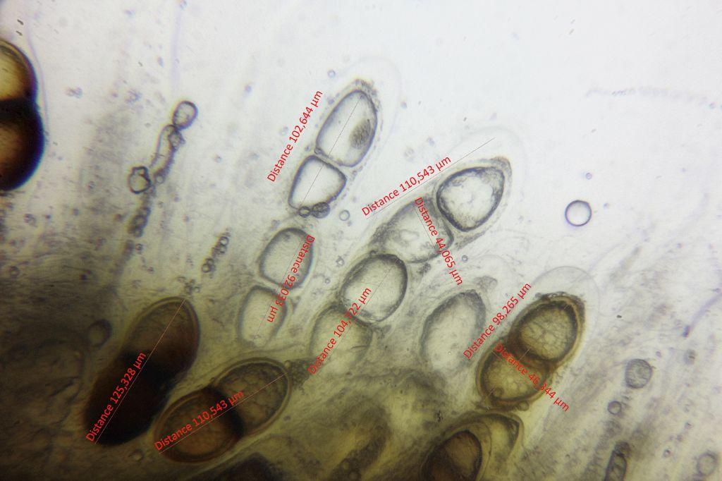 Solorina bispora subsp. macrospora