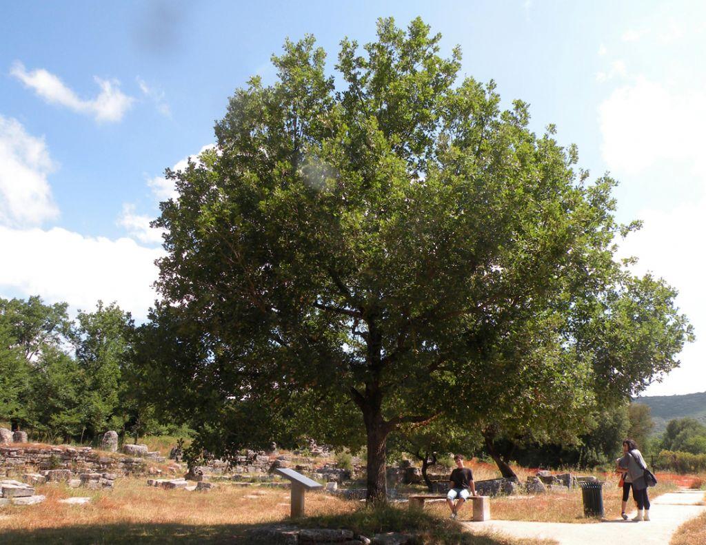 Quercus Congesta La quercia di D...