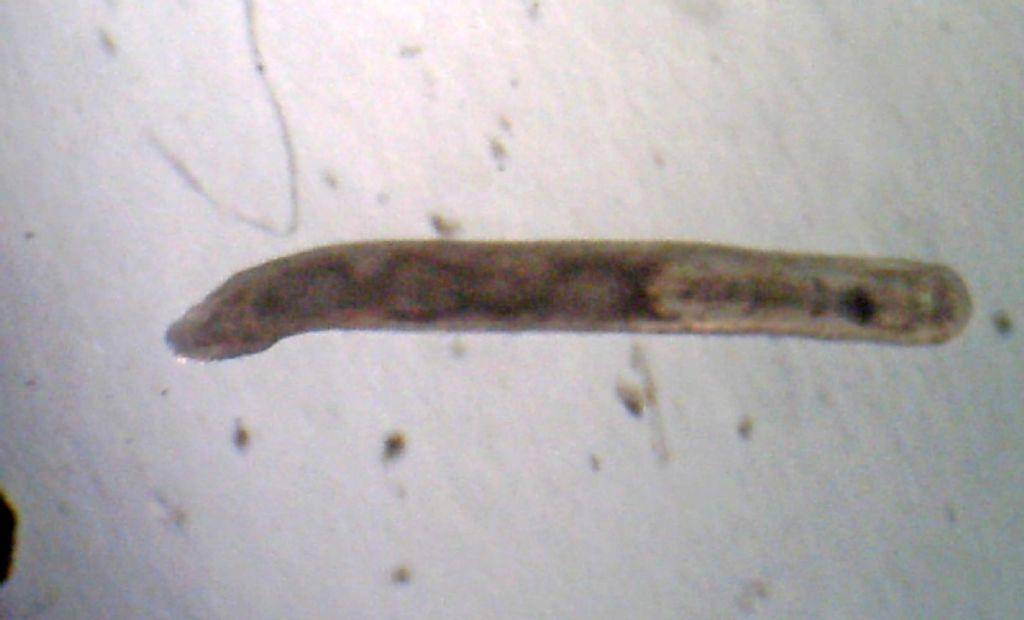 Turbellaria del mar Ligure