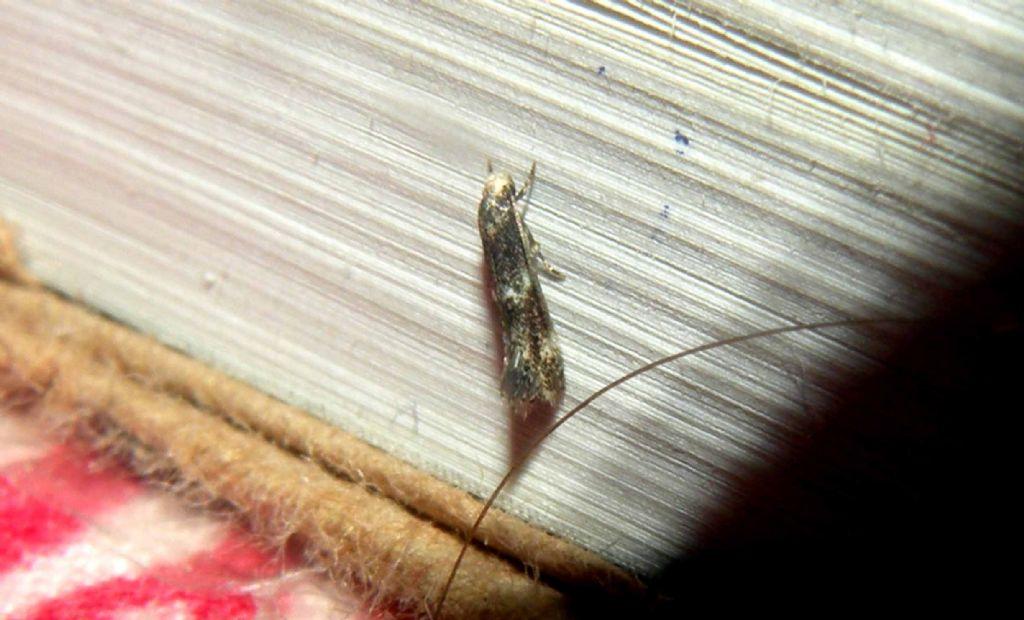 Un microlepidottero molto colto