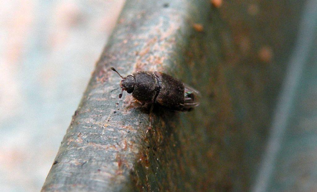 Nitidulidae: aff. Urophorus humeralis