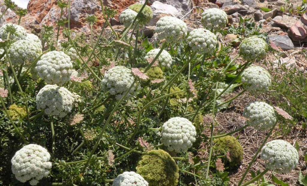 Daunus sp. (Daucus carota ssp. o Daunus gingidium) - Apiaceae