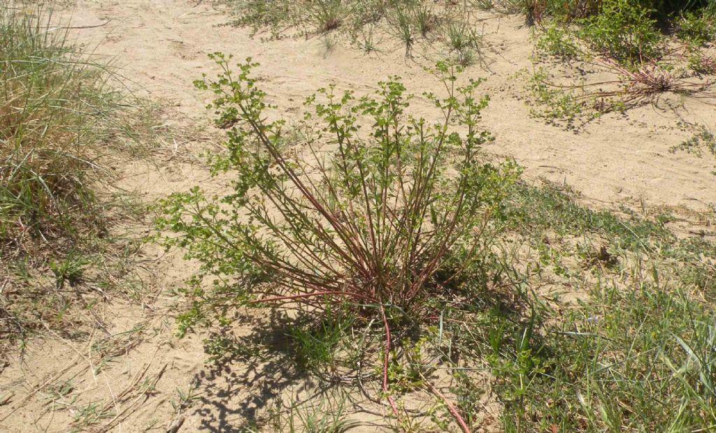 Dalla Catalogna: Euphorbia terracina?  Sì !
