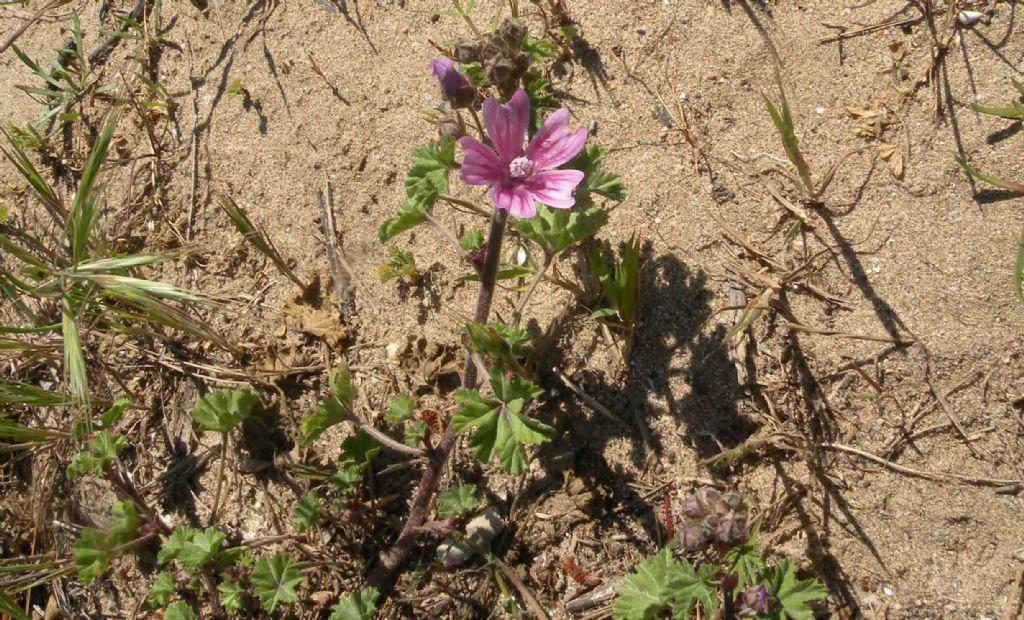 Lavatera arborea?  No, Malva multiflora (=Lavatera cretica), Malvaceae