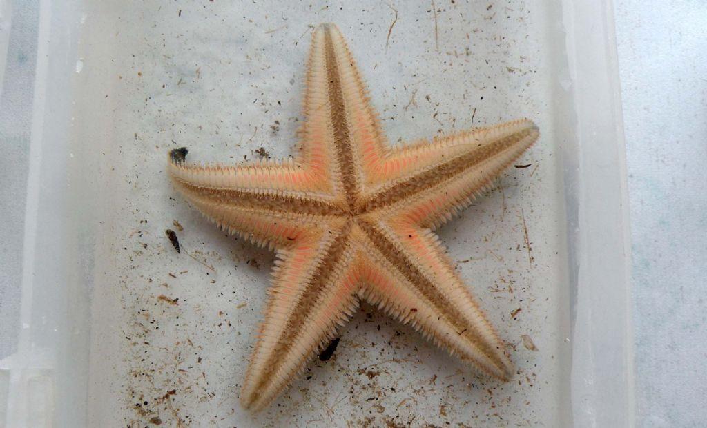 Astropecten jonstoni da Talamone (GR)