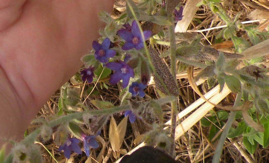 Boraginaceae - Anchusa undulata
