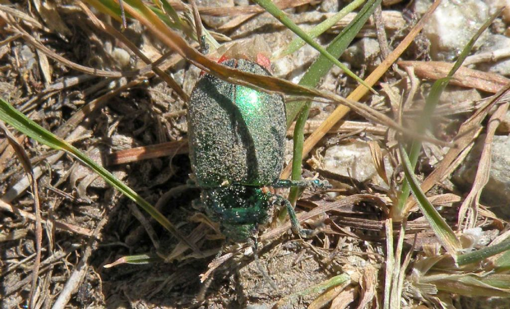 Verde con le ali rosse: Oreina sp, Chrysomelidae.