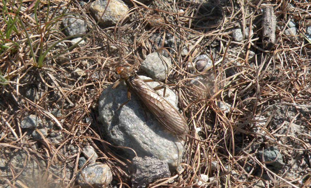 Mah... che insetto è?  Perla grandis (Perlidae)