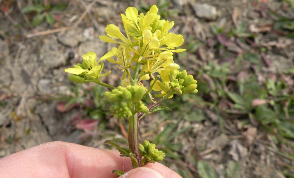 Confermate Brassica nigra? ... più probabile  Sinapis arvensis