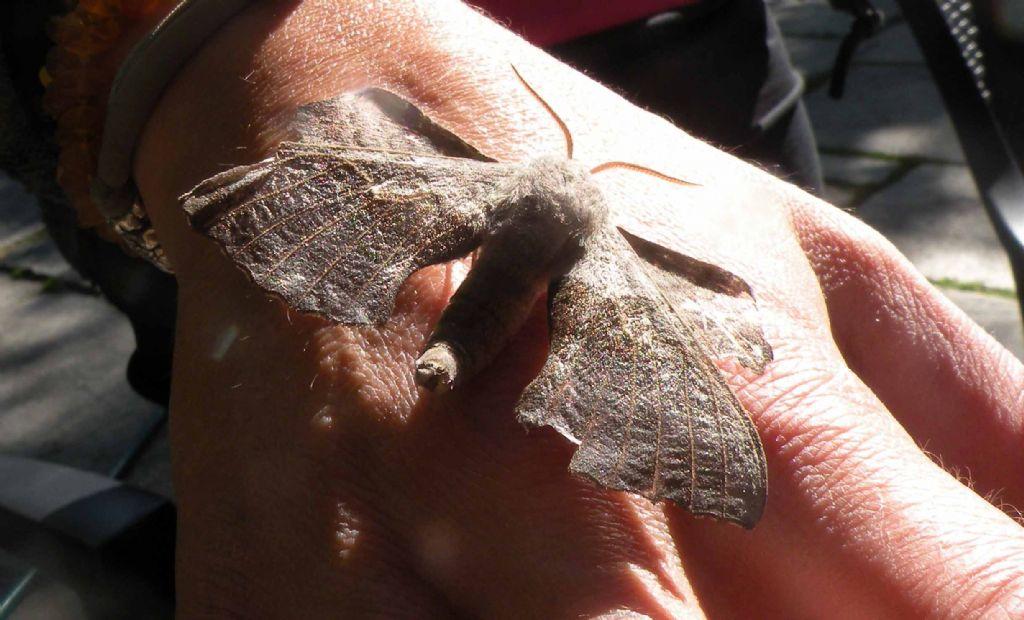 Vecchia falena: Laothoe populi / Sfringe del pioppo - Sphingidae
