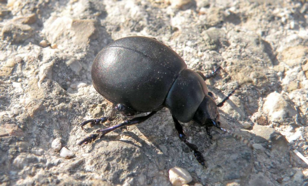 Chrysomelidae: femmina di Timarcha nicaeensis