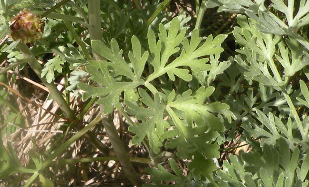 Artemisia absinthium?