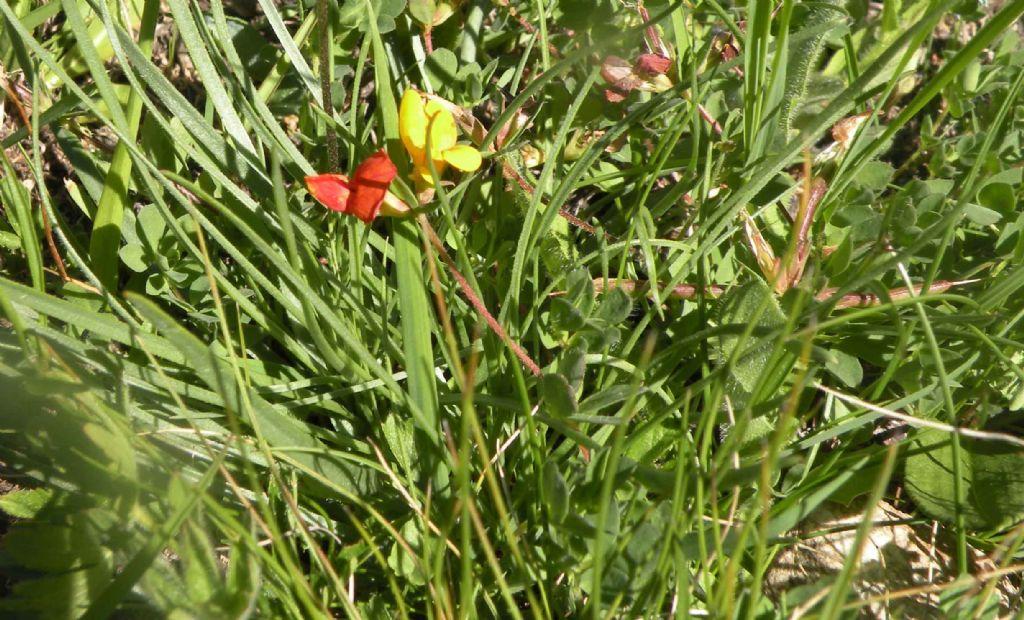 Lotus corniculatus bicolore