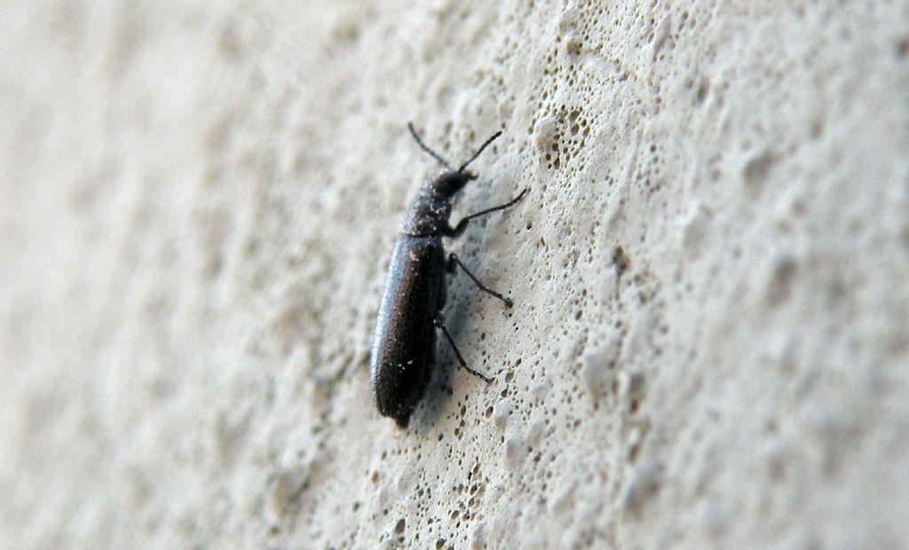 Malachidae?